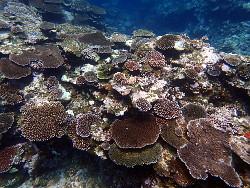サンゴ育ってます